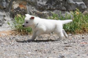 Puppies-Malinois-White-Shepherd-20190005