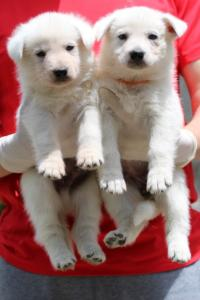 Puppies-Malinois-White-Shepherd-20190012