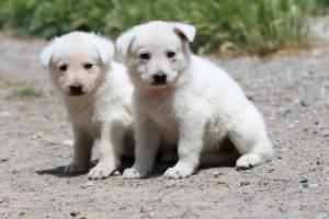 Puppies-Malinois-White-Shepherd-20190015