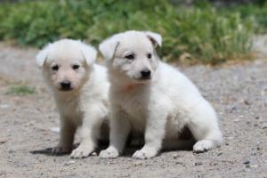 Puppies-Malinois-White-Shepherd-20190016