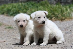 Puppies-Malinois-White-Shepherd-20190017