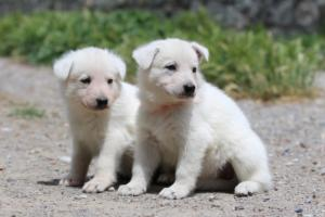 Puppies-Malinois-White-Shepherd-20190018