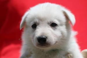 Puppies-Malinois-White-Shepherd-20190025