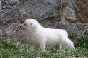 Puppies-Malinois-White-Shepherd-20190029