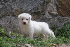Puppies-Malinois-White-Shepherd-20190031