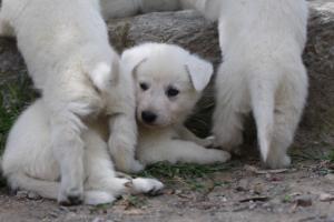 Puppies-Malinois-White-Shepherd-20190033
