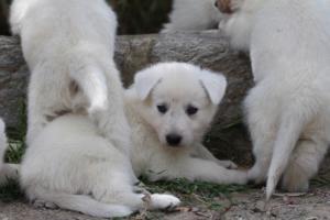 Puppies-Malinois-White-Shepherd-20190035
