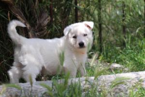 Puppies-Malinois-White-Shepherd-20190039