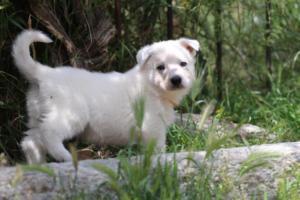 Puppies-Malinois-White-Shepherd-20190040
