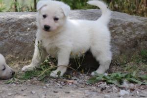Puppies-Malinois-White-Shepherd-20190041