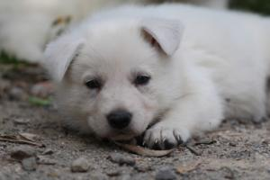 Puppies-Malinois-White-Shepherd-20190044