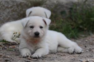 Puppies-Malinois-White-Shepherd-20190045