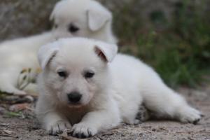 Puppies-Malinois-White-Shepherd-20190046
