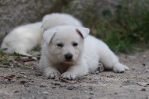 Puppies-Malinois-White-Shepherd-20190047