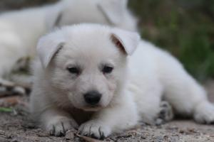 Puppies-Malinois-White-Shepherd-20190049