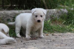 Puppies-Malinois-White-Shepherd-20190050