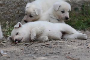 Puppies-Malinois-White-Shepherd-20190051