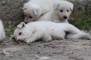 Puppies-Malinois-White-Shepherd-20190052