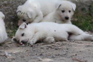 Puppies-Malinois-White-Shepherd-20190053