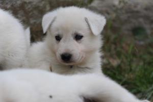 Puppies-Malinois-White-Shepherd-20190054