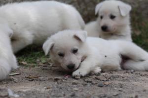 Puppies-Malinois-White-Shepherd-20190055