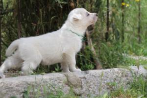 Puppies-Malinois-White-Shepherd-20190058