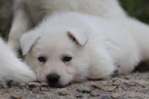 Puppies-Malinois-White-Shepherd-20190062