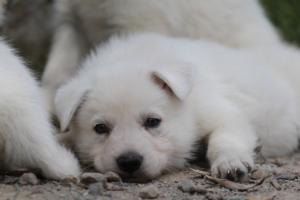 Puppies-Malinois-White-Shepherd-20190063
