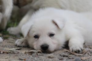 Puppies-Malinois-White-Shepherd-20190064