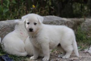 Puppies-Malinois-White-Shepherd-20190066