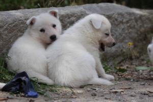 Puppies-Malinois-White-Shepherd-20190068