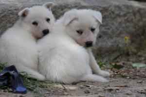 Puppies-Malinois-White-Shepherd-20190069