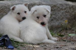 Puppies-Malinois-White-Shepherd-20190070