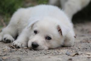 Puppies-Malinois-White-Shepherd-20190073