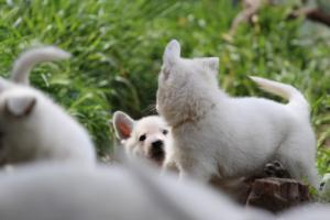White-Swiss-Shepherd-Puppies-BTWWL-May-2019-0001