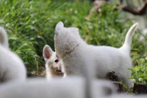 White-Swiss-Shepherd-Puppies-BTWWL-May-2019-0002