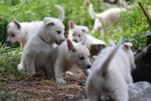 White-Swiss-Shepherd-Puppies-BTWWL-May-2019-0003