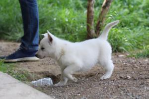White-Swiss-Shepherd-Puppies-BTWWL-May-2019-0004