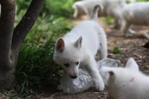 White-Swiss-Shepherd-Puppies-BTWWL-May-2019-0005