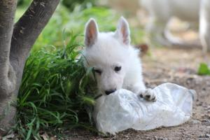 White-Swiss-Shepherd-Puppies-BTWWL-May-2019-0006