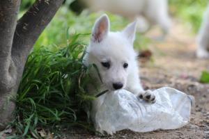 White-Swiss-Shepherd-Puppies-BTWWL-May-2019-0007