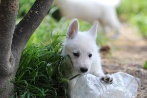 White-Swiss-Shepherd-Puppies-BTWWL-May-2019-0008