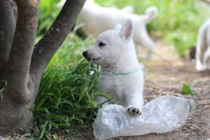 White-Swiss-Shepherd-Puppies-BTWWL-May-2019-0009
