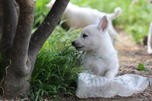White-Swiss-Shepherd-Puppies-BTWWL-May-2019-0010