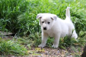 White-Swiss-Shepherd-Puppies-BTWWL-May-2019-0011