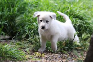 White-Swiss-Shepherd-Puppies-BTWWL-May-2019-0012