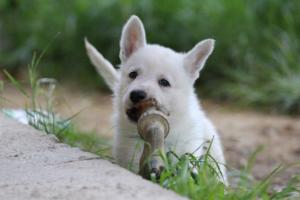 White-Swiss-Shepherd-Puppies-BTWWL-May-2019-0013