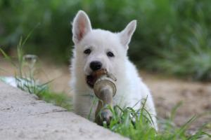 White-Swiss-Shepherd-Puppies-BTWWL-May-2019-0014