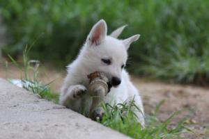 White-Swiss-Shepherd-Puppies-BTWWL-May-2019-0015