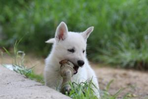 White-Swiss-Shepherd-Puppies-BTWWL-May-2019-0016